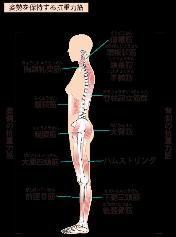 大腿筋・大胸筋